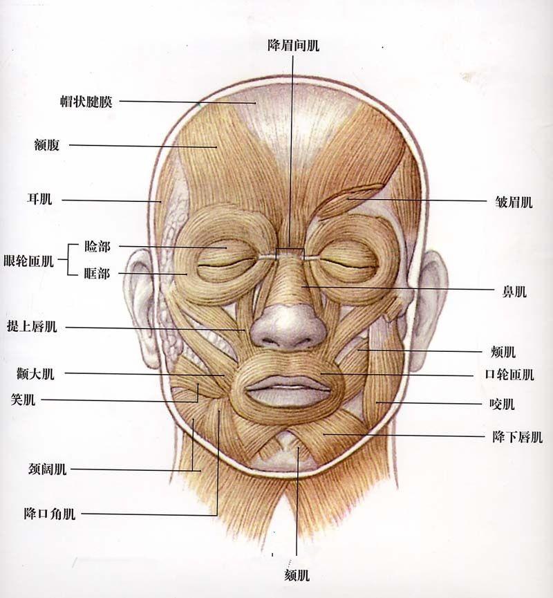 【头部肌肉】人物头像面部肌肉组织详解图